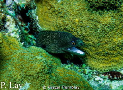Goldentail Moray Eel by Pascal Tremblay